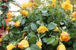 Lễ hội hoa hồng Bulgaria diễn ra trong 4 ngày