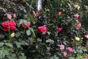 Lễ hội hoa hồng Bulgaria: Nhiều cây hoa có giá đến vài trăm triệu