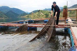 Nậm Nhùn - Lai Châu: Phát triển mô hình nuôi cá lồng trên lòng hồ thủy điện