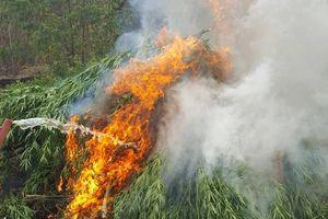 Đắk Nông: Tiêu hủy hơn 7.300 cây cần sa trồng trái phép