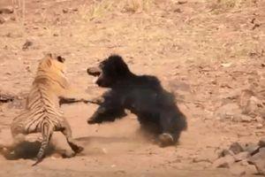 Gấu mẹ đại chiến hổ dữ để bảo vệ con