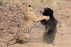 Gấu mẹ chiến đấu quật cường với hổ dữ để bảo vệ con