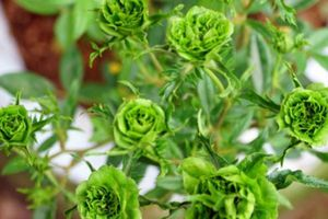 Ảnh, clip: Đẹp lạ khu vườn nghìn cây hoa hồng Bulgaria ở Hà Nội