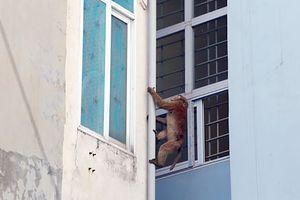 Khỉ hoang quậy phá giữa lòng Thủ đô khiến người dân lo lắng