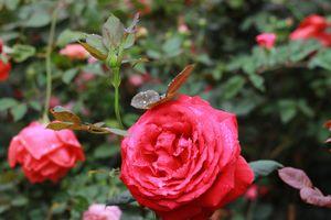 Khai mạc Lễ hội hoa hồng Bulgaria và bạn bè 2018
