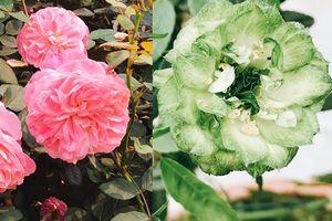 Mê mẩn trước những sắc hoa lạ trong 'Lễ hội hoa hồng Bulgaria' lớn nhất năm