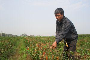 Phẫn uất nhìn hàng nghìn mét vuông ớt sắp đến kỳ thu hoạch bỗng chết cháy