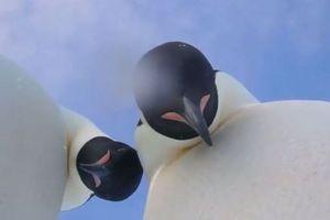 Chim cánh cụt tò mò chụp ảnh 'tự sướng'