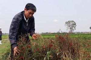 Chính quyền xã thờ ơ khi hàng nghìn mét vuông ớt chết nghi bị phun thuốc diệt cỏ
