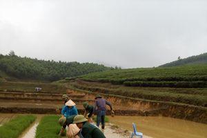 Bộ đội biên phòng giúp dân cấy lúa