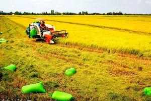 Tăng cường liên kết sản xuất và tiêu thụ lúa gạo