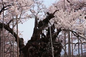 Vẻ đẹp lặng người của cây hoa anh đào 1800 tuổi