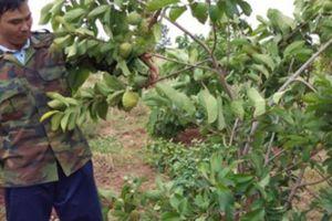 Anh Trần Quốc Toản tiên phong phá vườn tiêu, trồng na Thái khủng