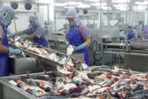 Giá cá tra bất ngờ tăng giá kỷ lục, thương lái đến tận ao lùng mua