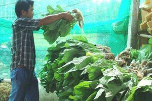 Lạ mắt vườn rau 2 tầng, 360m2 nhưng thu tới 2 tấn rau/tháng