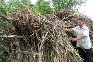 Cần có giải pháp giúp người trồng mía ở Long An