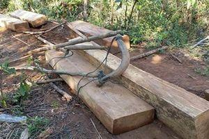 Kon Tum: Điều tra, xác minh vụ dùng trâu kéo gỗ trong rừng