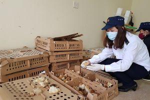 Thu giữ gần 1.500 con gà không rõ nguồn gốc xuất xứ