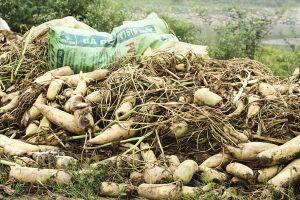 Nông dân xót ruột đổ bỏ hàng trăm tấn củ cải vì rớt giá