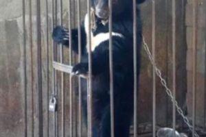 TQ: Chó hoang được nhận nuôi bỗng 'hóa gấu' khổng lồ