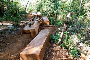 Lâm tặc đốn gỗ rừng rồi dùng trâu vận chuyển