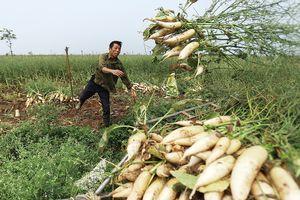 Cận cảnh người dân nhổ bỏ hàng trăm tấn củ cải trắng vì rớt giá