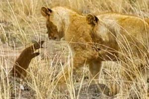 Cầy mangut quyết chiến, phá vòng vây của đàn sư tử