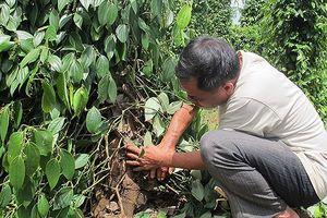 Báo động nạn phá hoại cây trồng của người dân Đắk Lắk