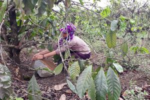Gia Lai: Hàng ngàn cây cà phê khô héo, thất thu vì bụi từ mỏ đá của Công ty Quang Đức