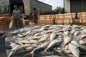 Ngư dân Quảng Ngãi trúng mẻ lưới hơn 8 tấn cá bẹ xước
