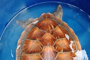 Cứu hộ thành công cá thể rùa quý hiếm thả về vùng biển Thuận An