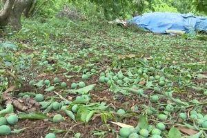 Mộc Châu - Sơn La: Mưa đá gây thiệt hại nhiều diện tích cây ăn quả