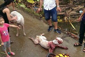 Dân mạng phẫn nộ trước thú chơi 'rừng rú' cho chó săn xâu xé lợn rừng ở Hà Nội