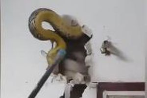 Chủ nhà tá hỏa khi phát hiện con trăn khổng lồ trốn trong tường