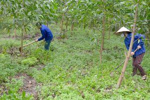 Hiệu quả mô hình liên kết trồng rừng tại Tuyên Quang