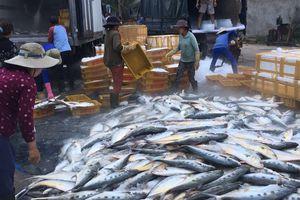 Một tàu cá Quảng Ngãi trúng mẻ cá bẹ hơn 8 tấn