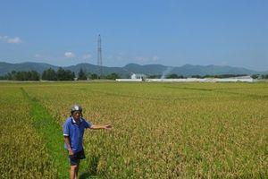 Báo động đạo ôn bùng phát diện rộng ở Hà Tĩnh