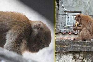 Hai con khỉ hoang vẫn 'đại náo' khu dân cư ở Hà Nội