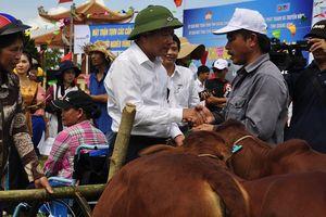 Mặt trận Quảng Bình tặng 500 con bò cho hộ nghèo