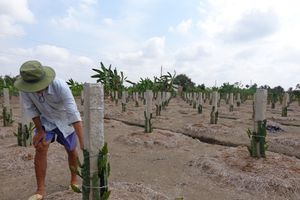 Nhiều vườn cây thanh long liên tiếp bị kẻ xấu phá hoại