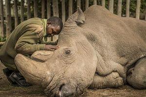 Khoảnh khắc xúc động trước khi tê giác trắng Sudan châu Phi đực cuối cùng chết