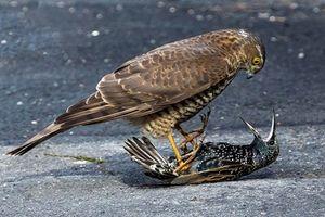 Chim sáo bất lực, bị chim cắt hỏa dẫm 'bẹp dúm'