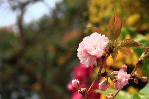 Người Hà Nội 'mê tít' hoa Anh đào