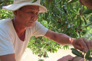 Lão nông lãi 15 triệu đồng/vụ từ cây hồng xiêm