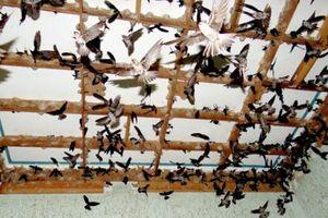 Nở rộ nghề nuôi chim yến ở Lâm Đồng