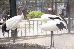 Cận cảnh đôi sếu đỉnh đầu đỏ quý mà vườn thú Hà Nội muốn nhân giống
