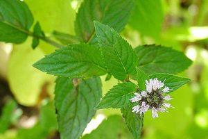 Điều trị hôi miệng hiệu quả từ một số loại rau thơm