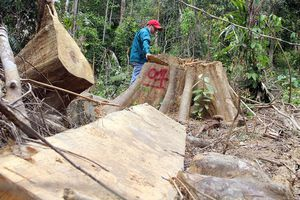'Lâm tặc' băm nát rừng phòng hộ ở Đông Giang