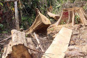 Khởi tố vụ phá rừng phòng hộ ở Đông Giang