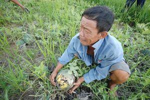 Cứu hành tím, dưa hấu, củ cải, khoai tây... đến bao giờ?
